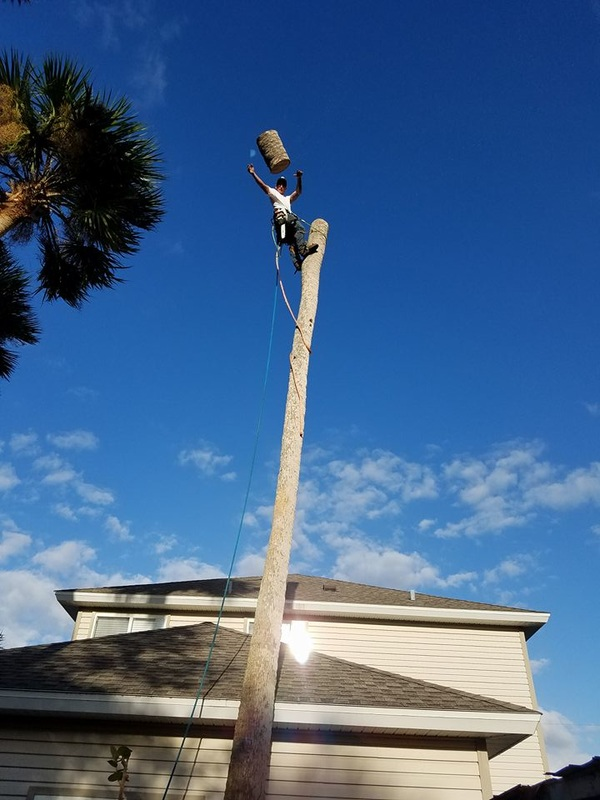 Climbing Palm Trees and Cutting them Down in Volusia County